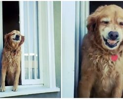 Friendly Senior Golden Greets His Neighbors Every Day With A Huge Grin
