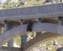 Bear Discovered Dangling Under A Bridge Trying To Hang On For Dear Life