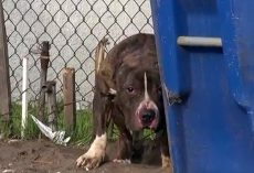 Pit Bull Pelted With Rocks By Kids Hid Behind Trash Cans Afraid Of It All