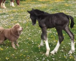 1-Year-Old Shar Pei & 1-Week-Old Foal Frolic In The Flowery Pasture