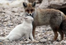 Fisherman Comes Across Fox And Cat Together Out In The Wild