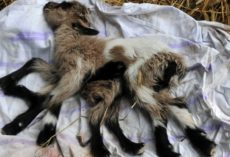 Farmer Comes Across A Newborn Baby Goat And Counts Eight Legs
