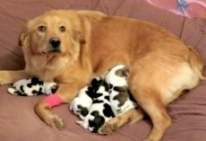 Abandoned Golden Retriever Gives Birth To 'Cow' Babies When Taken In
