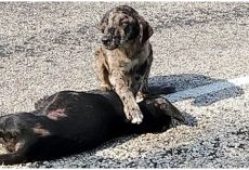 He Placed His Paw On Sister's Dead Body, Guarding Her After She Was Hit By Car
