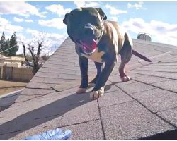 Pit Bull Stranded On Burning Hot Roof For Hours, Nobody Knows Who He Belongs To