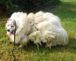 Neglected Dog Spends 7 Years Locked In Filthy Barn, Begins To Look Like A Sheep