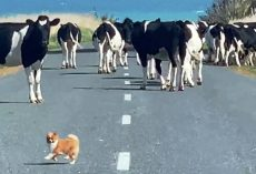 "Over-Confident Tiny Dog Tries To ""Herd"" Loose Cows But Gets Surrounded By Them"