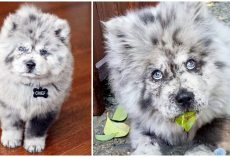 Chow Pup Who Looks Like Cookies & Cream Ice Cream Has Won Over Everyone's Heart