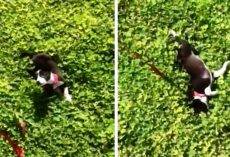 "Abused Dog Tied To Pole All His Life Sees Grass For The 1st Time & ""Goes Crazy"""