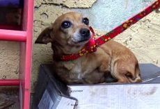 Sick 3-Legged Dog Knows No One Loves Her So She Sleeps In A Shoebox In The Rain