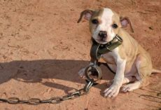 Timmy Was Found Chained Up In One Of The Largest Dog Fighting Raids Ever