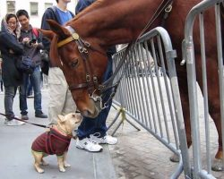 Frenchie Jumps For Joy Upon Meeting Police Horse