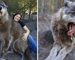 Giant Wolfdog Abandoned By Owner At Kill Shelter Luckily Saved By Sanctuary