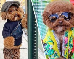 Maltipoo Takes The Internet By Storm For His 'Poses' Around New York City