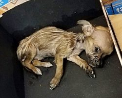 Frail Chihuahua Had To Be Euthanized After Man Dumped Her In Box At Storefront