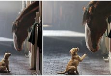 Clydesdale & Labrador Puppy Reunite In New Heartfelt Budweiser Commercial