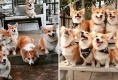 This Corgi Café That Lets Guests Play & Cuddle With Corgis Is Every Dog Lover's Dream