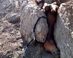 Baby Horse Gets Trapped Upside Down Between 2 Boulders And Cries Out For Help