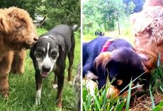 Cow Rejected By His Mother Grows Up With Dogs & Now He Thinks He's One Of Them