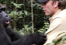 Man Dares To Enter Gorilla Forest Hoping The Gorilla He Saved Will Remember Him