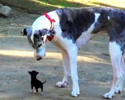 Minuscule Puppy Escapes Shelter Kennel & Tries To Make Friends With Large Dog