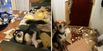 "10+ Hilarious Pics Of ""Innocent"" Dogs Who Got Caught Red-Handed"