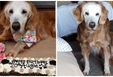 World's Oldest Living Golden Retriever Celebrates Her 20th Birthday