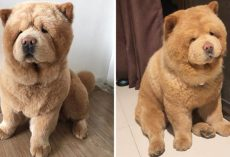 This Cuddly, Fluffy Chow Chow Looks Just Like A Plush Toy