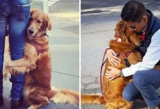Friendly Golden Retriever Spreads Love By Giving Out Hugs To Everyone She Sees On The Street