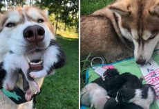 Hero Husky Finds A Box Full Of Near-Dying Kittens In The Woods And Becomes Their New Mom