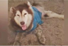 Husky With Mangled Legs Smiles & Wags So They Don't Walk Passed Him Again