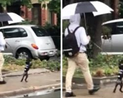 "Poodle Loves Copying Dad & ""Walks Like A Human"" On His Hind Legs During Walks"
