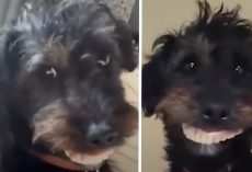 Mom's Puppy Steals Her Dentures And Parades Around The House