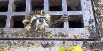 Raccoon Gets Head Stuck In Sewer Grate, Officers Panic As Heavy Rains Pour In