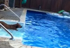 Dog With Water Phobia Jumps Into Pool When Her Drowning Human Shouts For Help