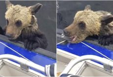 Drowning Baby Bear Paws At Boat For A Boost, Bites Down As Men Don't Move