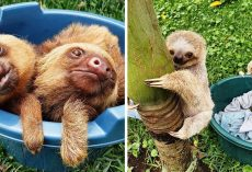 "Orphaned Baby Sloths Are Admitted As ""Preschoolers"" In Nurturing Rehab Sanctuary"