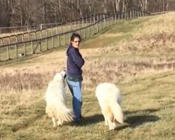 Dogs And Mom Start Their Walk When The Chickens, Ducks, And Goats Come Along