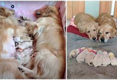 First-Time Golden Retriever Parents Watch Over Their Newborn Babies Together