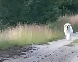 They're Losing Hope Of Finding Their Pet When Big White Dog Appears In The Road