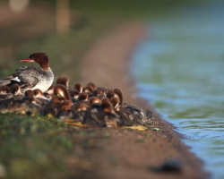Photographer Spots Mama Duck Leading 76 Little Ducklings Through The Water