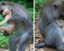 Monkey Takes In And Cares For Kitten As If It's Her Very Own