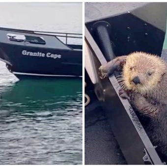 Otter Seeks Refuge On Man's Boat As He Barely Escapes Jaws Of Killer Whale