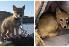 Rafter Prevents Coyote Pup From Drowning & Takes Him On 10-Day River Voyage