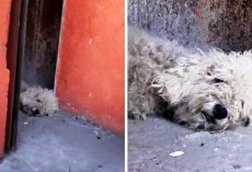 Depressed Dog Tired Of Living On The Streets Gives Up Hope & Collapses In Alley