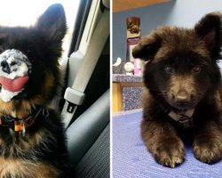 10+ Pics That Prove German Shepherd Puppies Are The Purest Creatures On The Planet