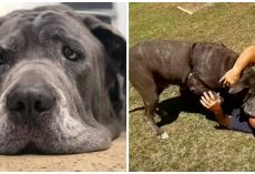 174-Pound Senior Mastiff Winds Up Depressed In Shelter After Owner Passes Away