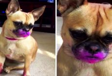 Dog Wants To Look Pretty Like Mom, So She Grabs A Pink Lipstick And Goes To Town
