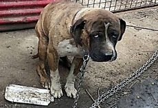Miserable Dog Was Strangled By Heavy Chain For Years, Starved & Ignored By Owner
