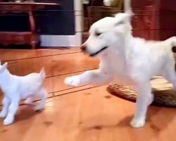 "Golden Retriever Puppy Meets Baby Goat For First Time, And He ""Loses His Mind"""